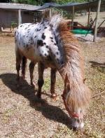 spotted mini stallion grazing