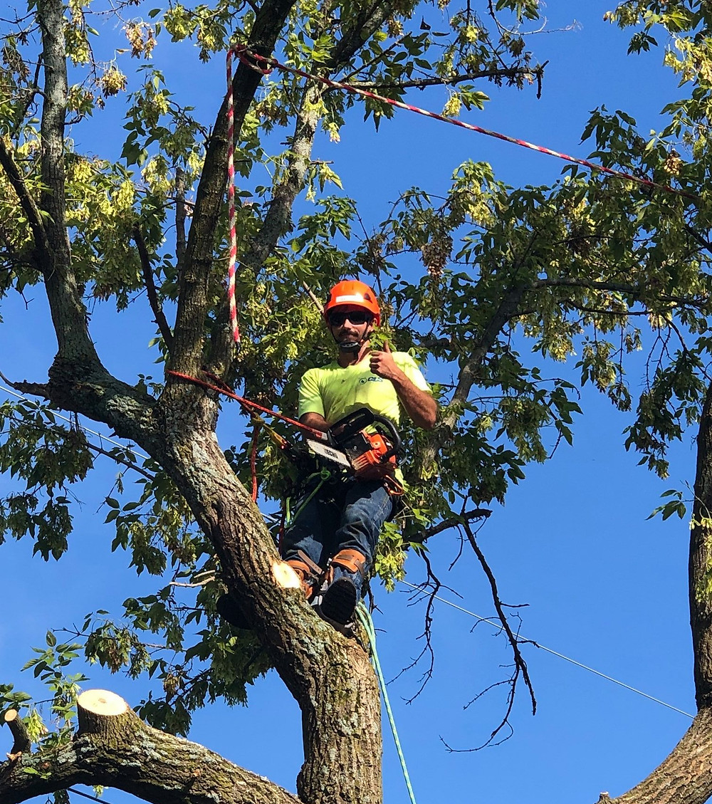 Man in tree with chainsaw cutting limbs