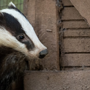 Badger Trust welcomes bovine TB policy review which finds farming industry largely responsible
