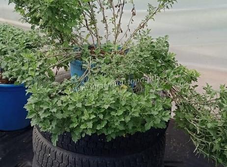 Хризантема ниспадающая