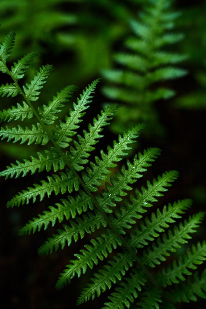 艶のあるシダの葉 / Glossy fern leaves