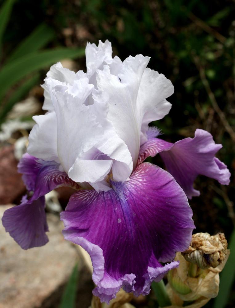 Iris Flower, Public Domain