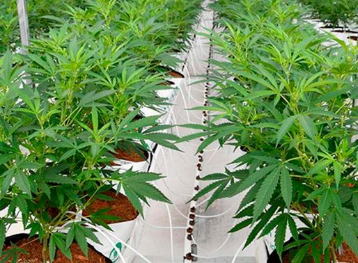 El Ministerio de Agricultura socializó los tipos de licencia para el cultivo de cáñamo en el país