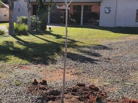 Árvore da Liberdade - símbolo da revolução Francesa é plantada em Brochier.