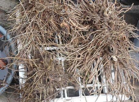 Gravel Root- The Boss Fix and Job Root Extraordinaire