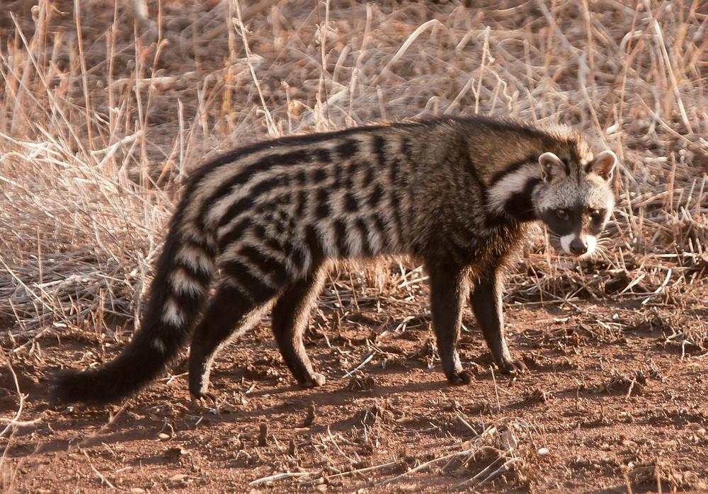 African Civet - Image Source: Singita.com