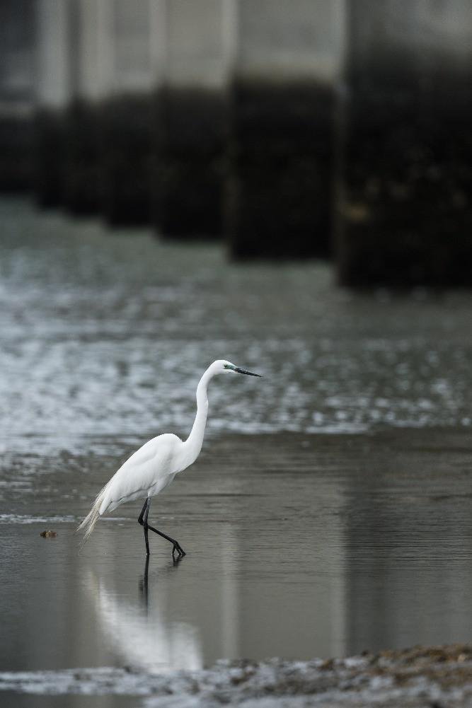 橋脚の下のチュウダイサギ /  / Great egret (a. a. modesta)