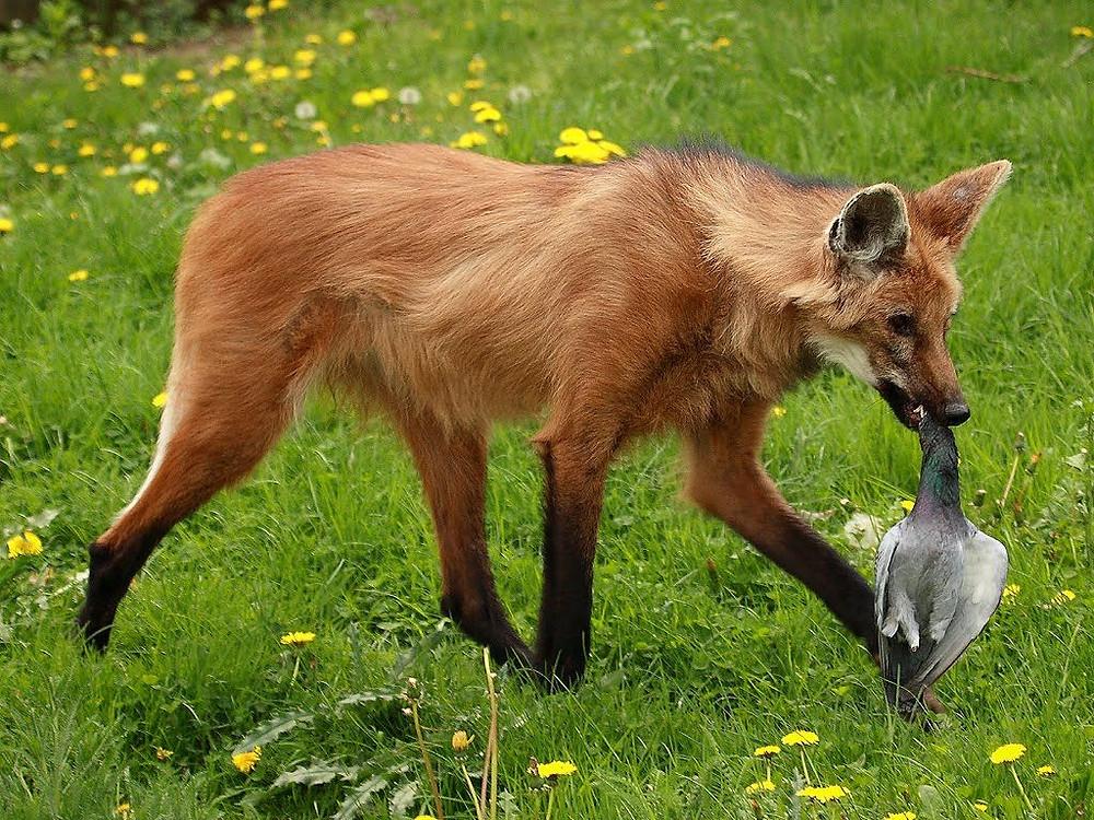 Lobo-guará se alimentando