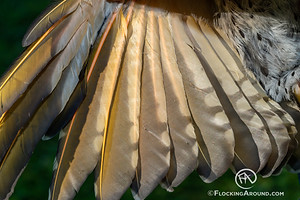 HY female Northern Flicker intergrade - underwing