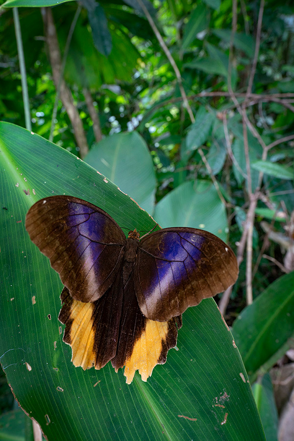 The upper side of the owl butterfly's wing can only be seen briefly as it flies. Upon landing they immediately close the wings and disappear.