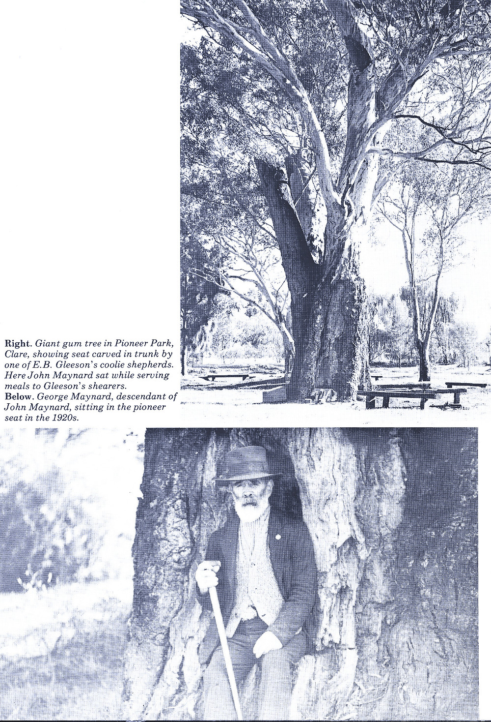 The old gum tree in Pioneer Park, Clare SA