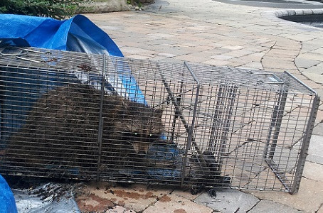 How to get rid of UNINVITED Raccoons from your Garage OR Shed?
