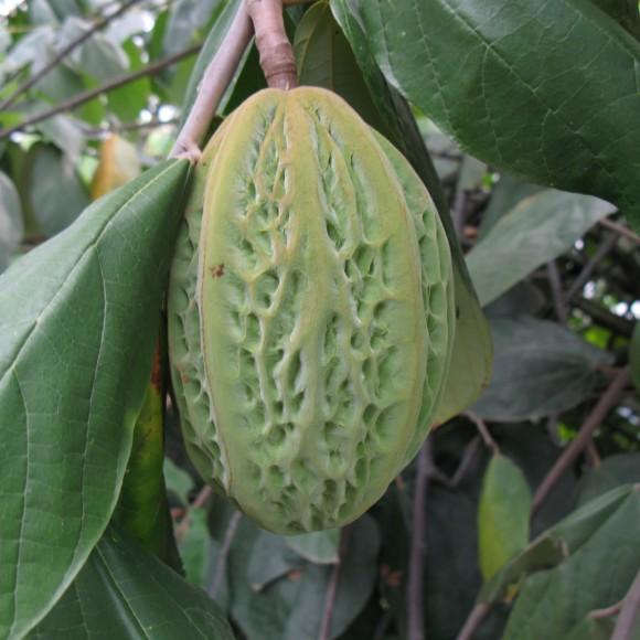 Fruto de T. bicolor.