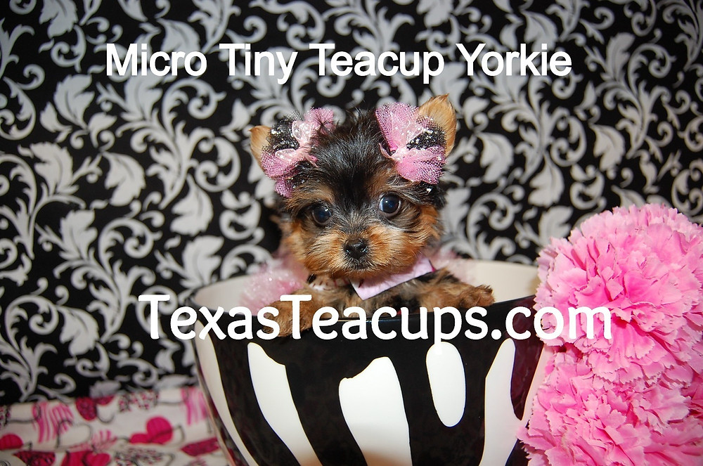 Micro Tiny Teacup Baby Face Yorkie Puppy For Sale