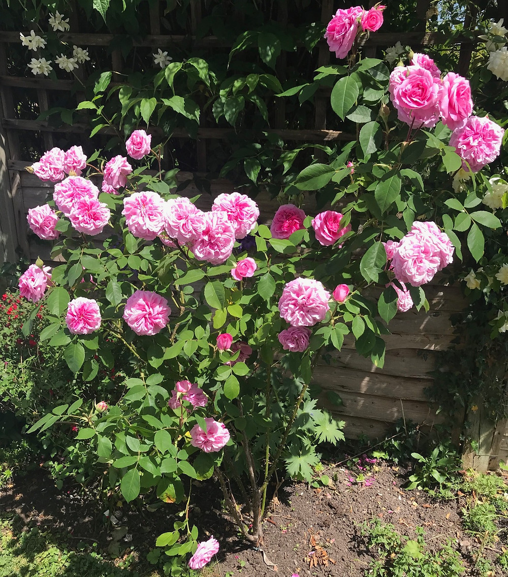 A scented Gertrude Jekyll rose