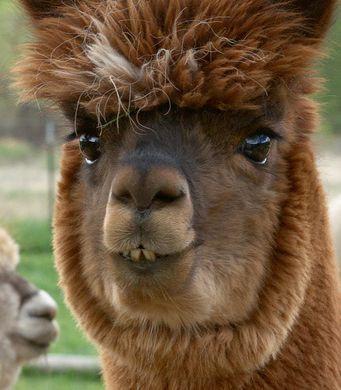 alpaca, wool, soft, natural