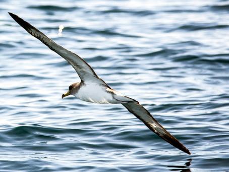 İstanbul Boğazı'nda yelkovan kuşları