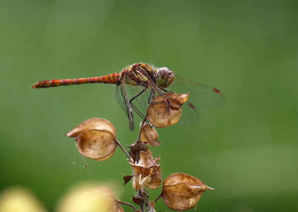 Dragonfly resting on top of plant