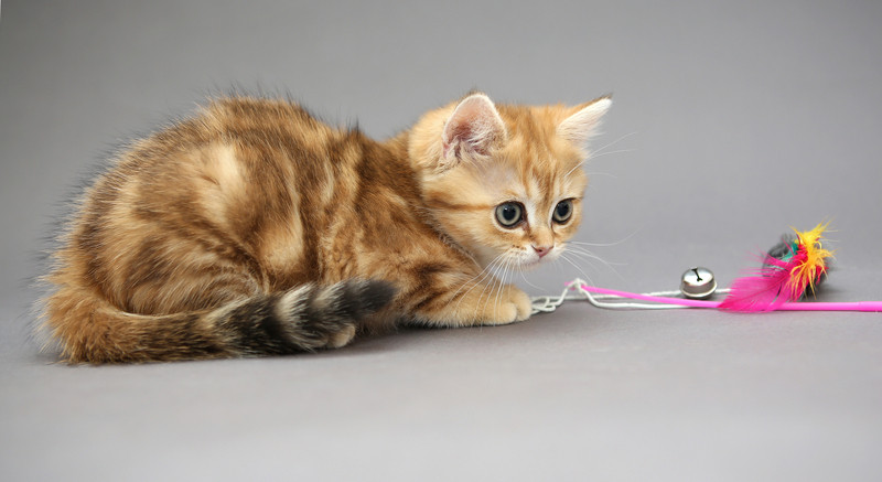 Kitten playing with a new toy