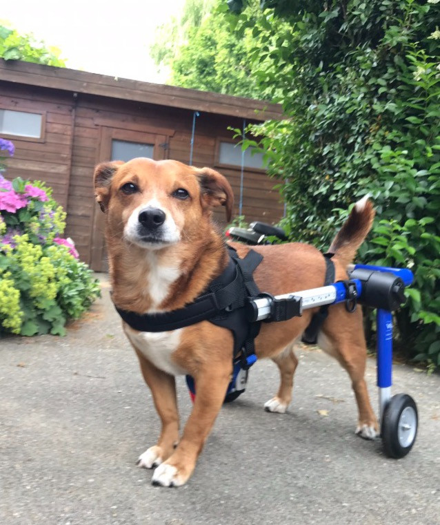 Toetsie with his hired wheelchair for dogs