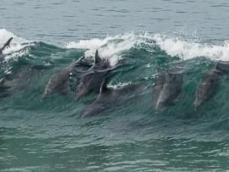 Harbor Dolphins Ride the Surf
