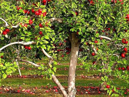Früchte des Herbstes: giuggiola