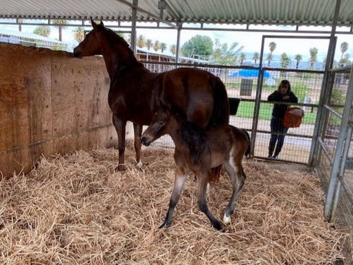 Our First 'Cabalito' foal of the Season