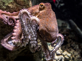 The Common Octopus