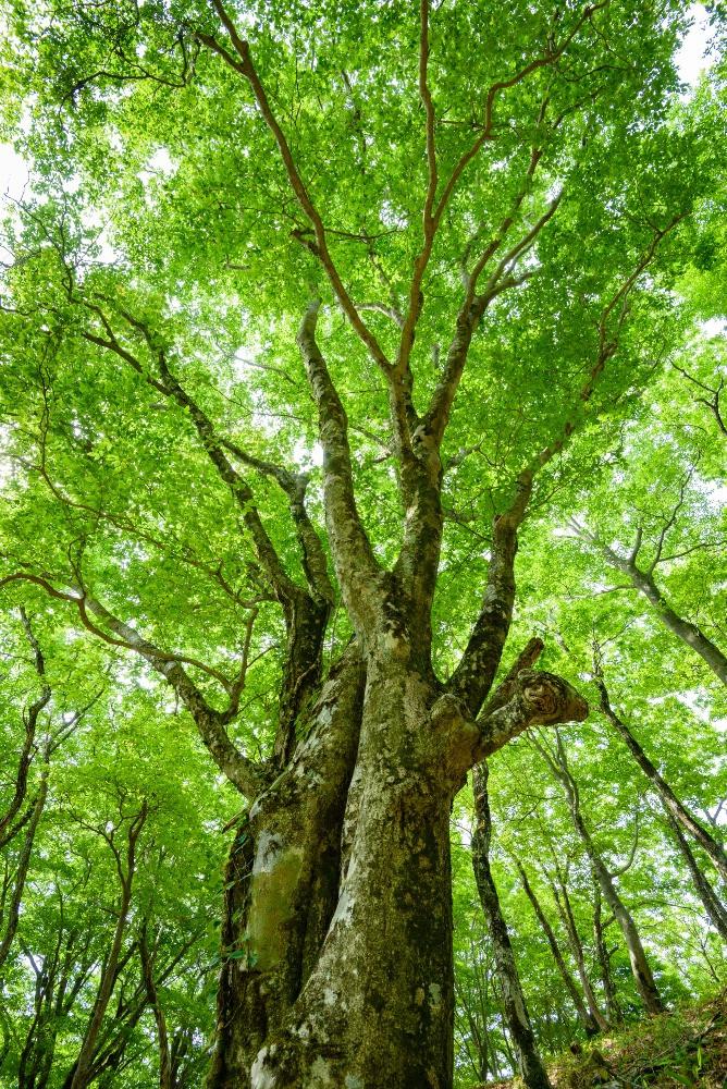 ブナの大木 / Tall Japanese beech