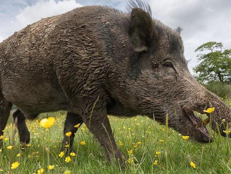 Swine Through Time