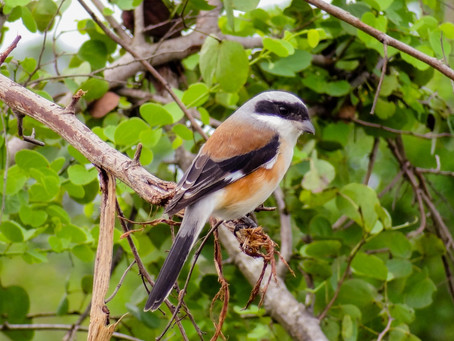 Lonely Bay-backed Shrike in Udawalawe