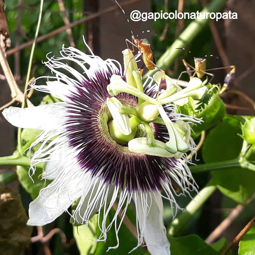 Passiflora nos Florais da Amazônia - Maracujá silvestre