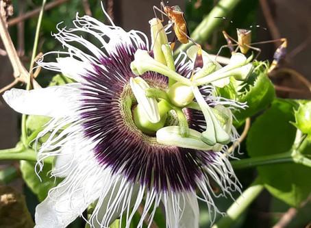 Passiflora nos Florais da Amazônia