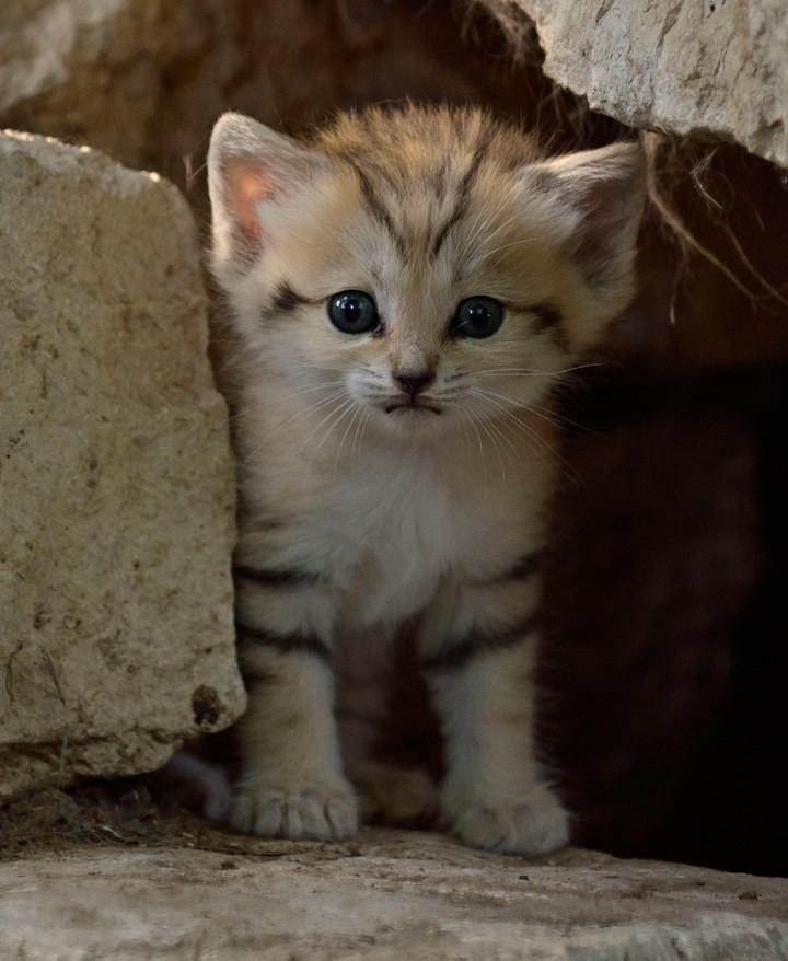 барханный кот, песчаная кошка