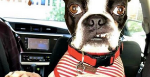 We pawsitively can't wait to have The Boston Terrier Rescue of NC at Spring Fling!