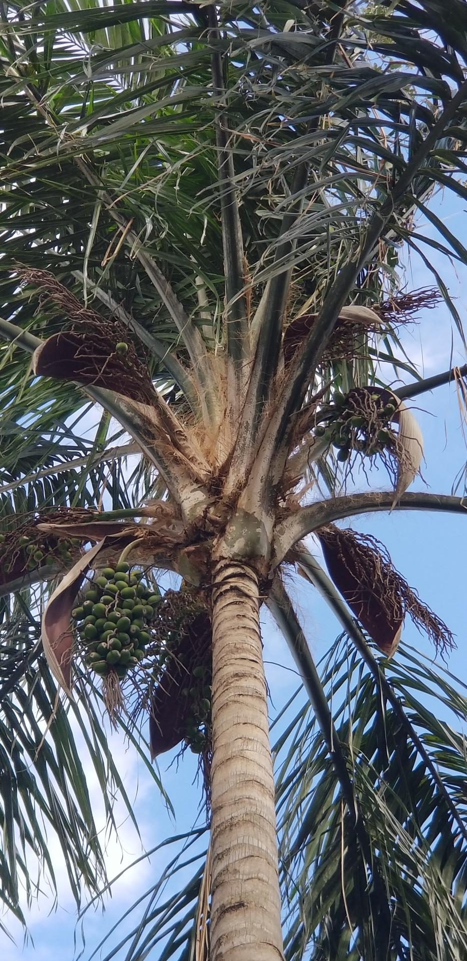 Syagrus amara is pinnate