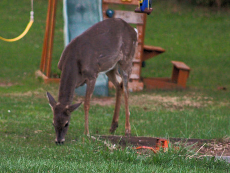 Oh Deer - 10 Ways to Deter Wildlife from Your Yard