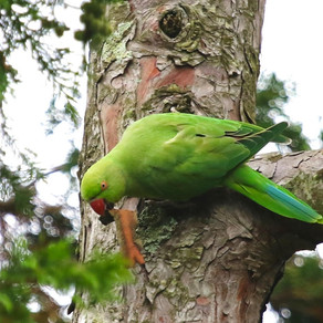 Ring necked parakeets here to stay?