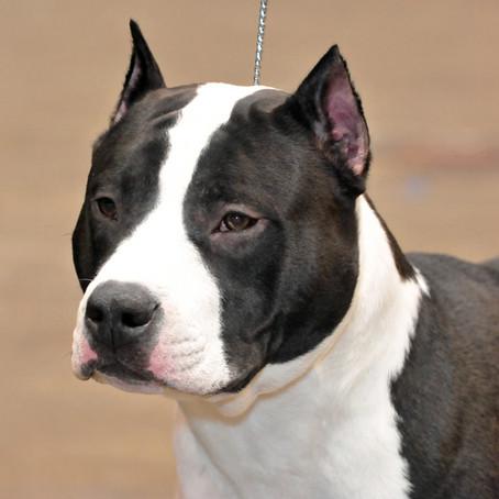 Conheça o American Staffordshire Terrier