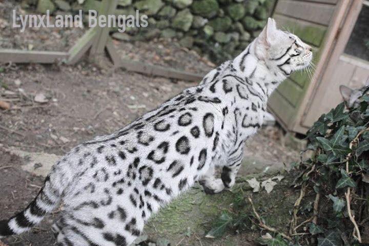 Silver bengal cat – Silverstorm Teddy Bear of LynxLand
