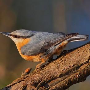 Les oiseaux insectivores