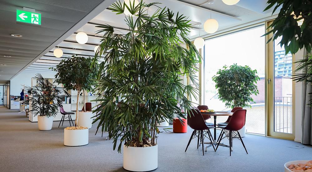 Kentia, Ficus, Schefflera, Pflanzenservice, Innenbegrünung, Raumbegrünung, DreamPlant,