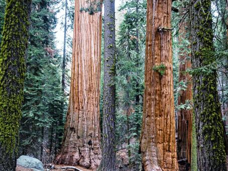 Redwood Wisdom