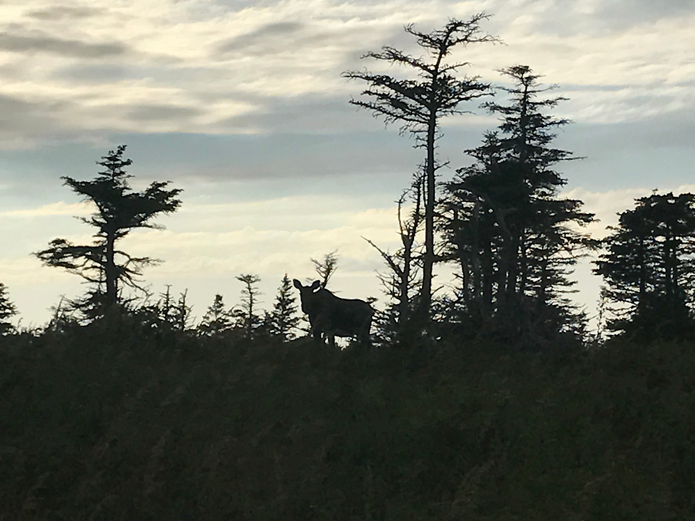 Moose in Canada Seen on Cabot Trail Canada Tourism Loves It