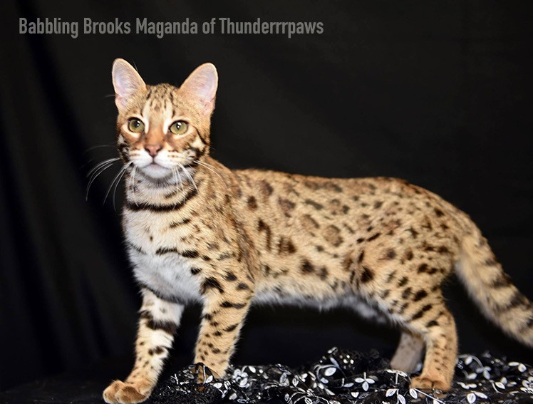 F1 Bengal Cat Bubbling Brooks Maganda of Thunderrpaws