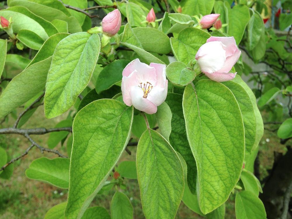Melo cotogno in fiore