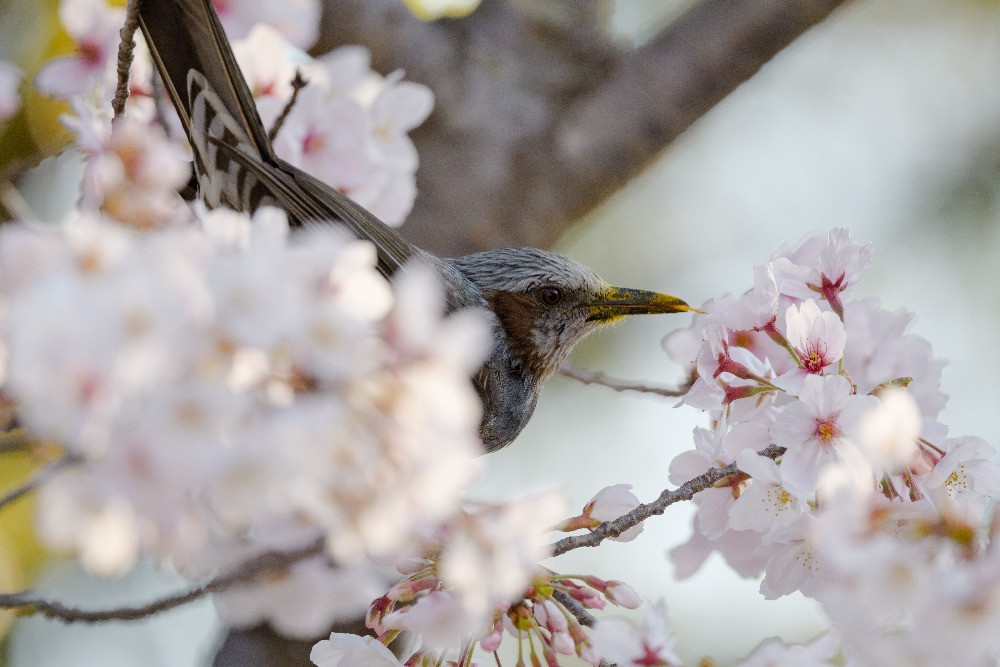 桜の蜜をなめるヒヨドリ / A brown-eared bulbul sipping cherry nectar