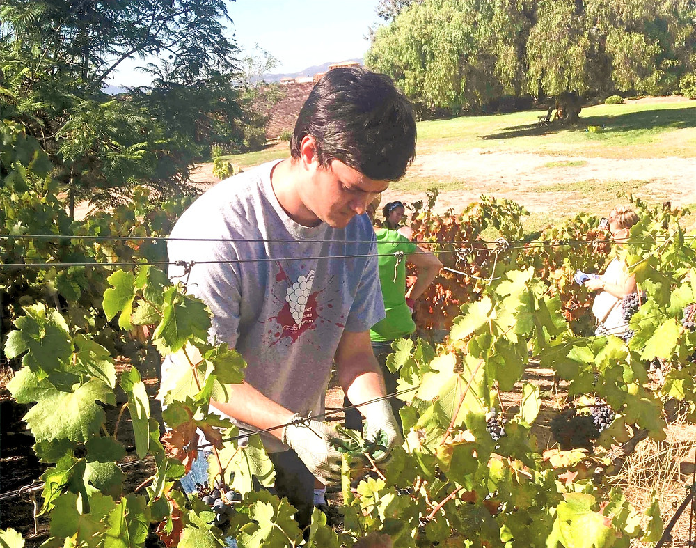 Individual with a disability picking grapes