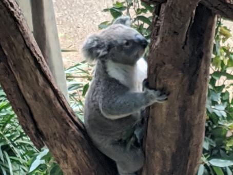 Sydney: Koalas and Devils