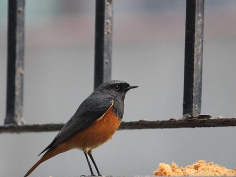 Hodgson's Redstart - A Rare Visitor